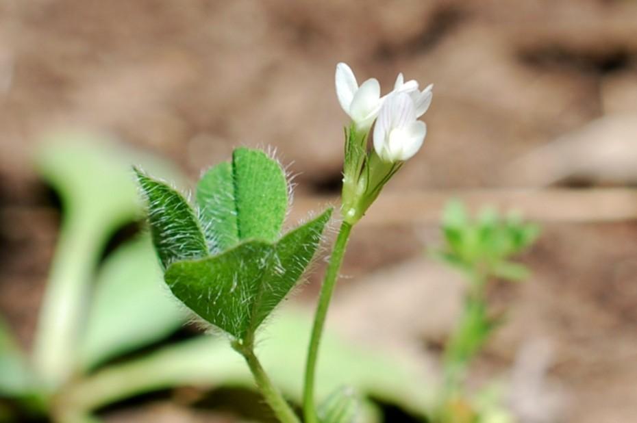 Trifolium subterraneum 9