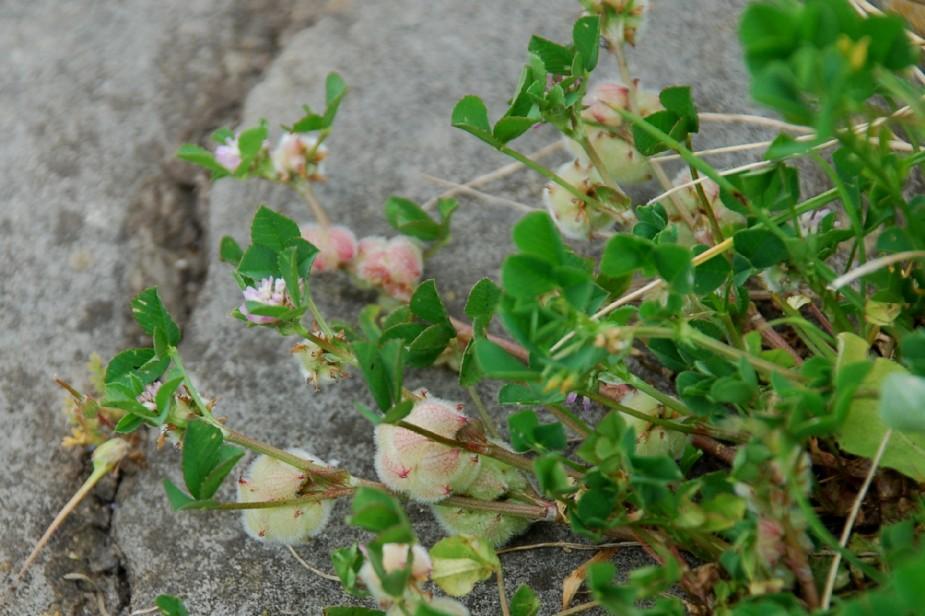 Trifolium tomentosum 10