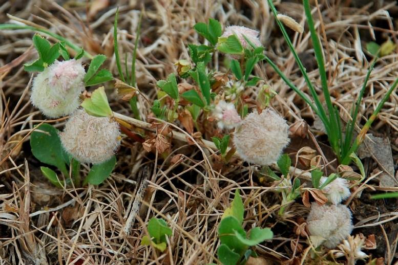 Trifolium tomentosum 12