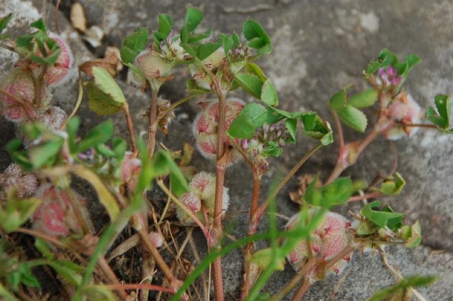 Trifolium tomentosum 9