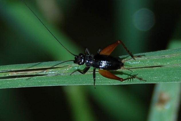 Trigonidium cicindeloides - Gryllidae