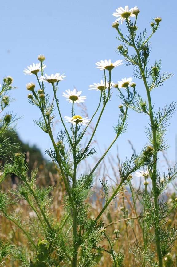 Tripleurospermum inodorum 11