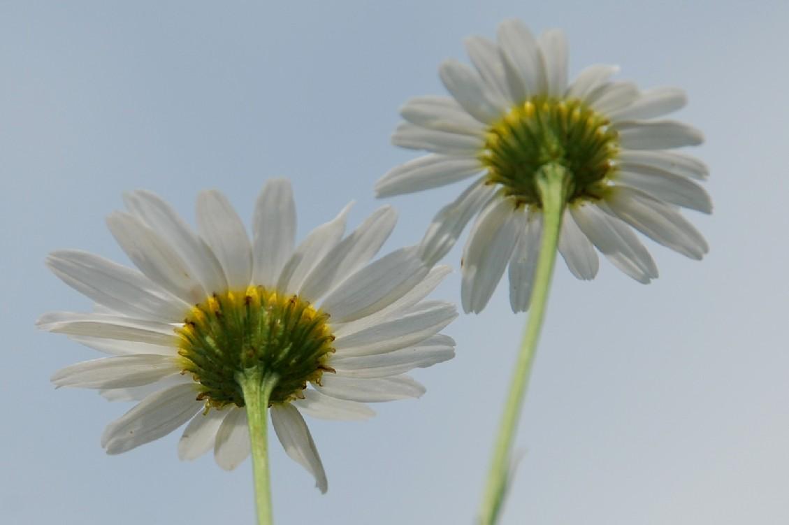 Tripleurospermum inodorum 4
