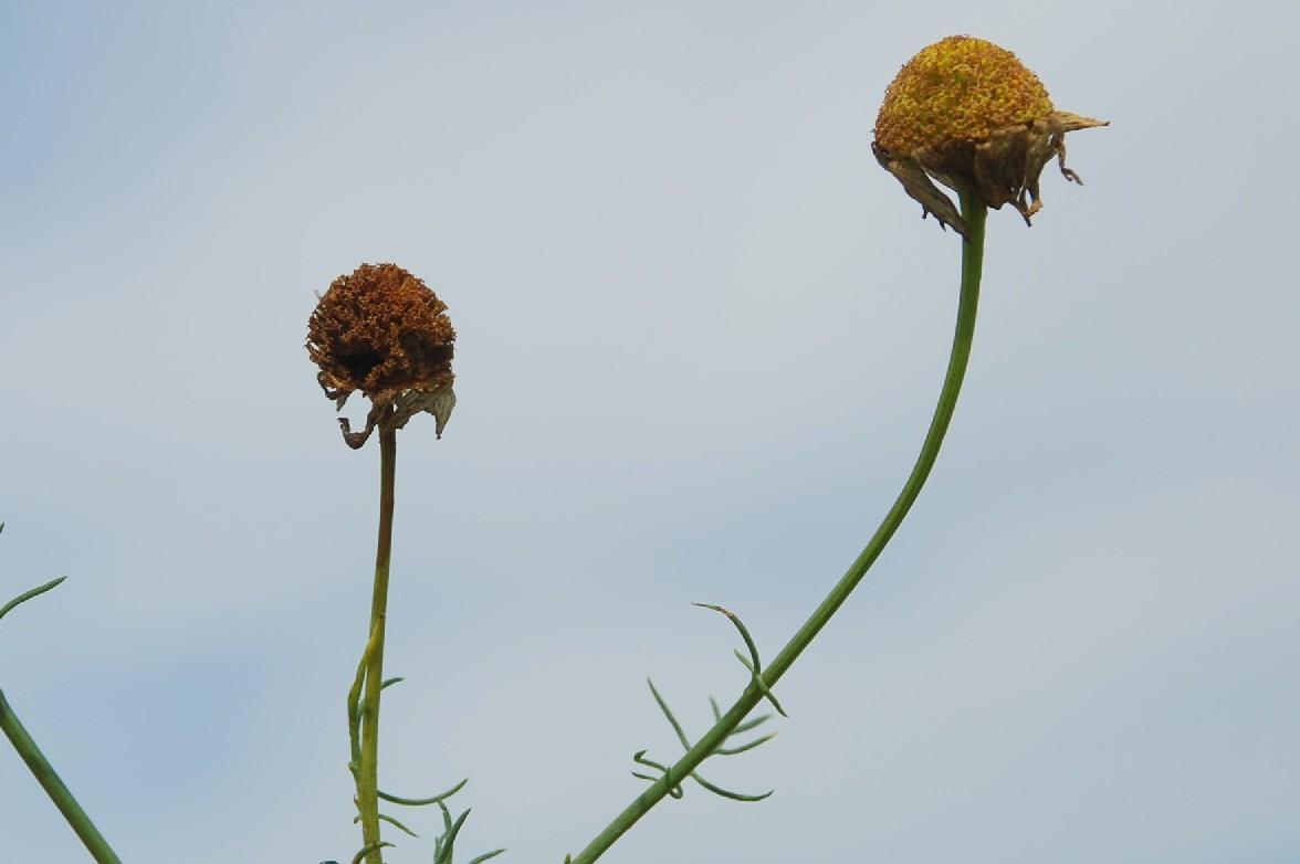 Tripleurospermum inodorum 8