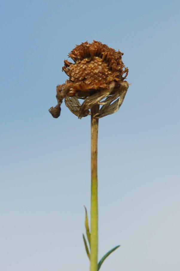 Tripleurospermum inodorum 9