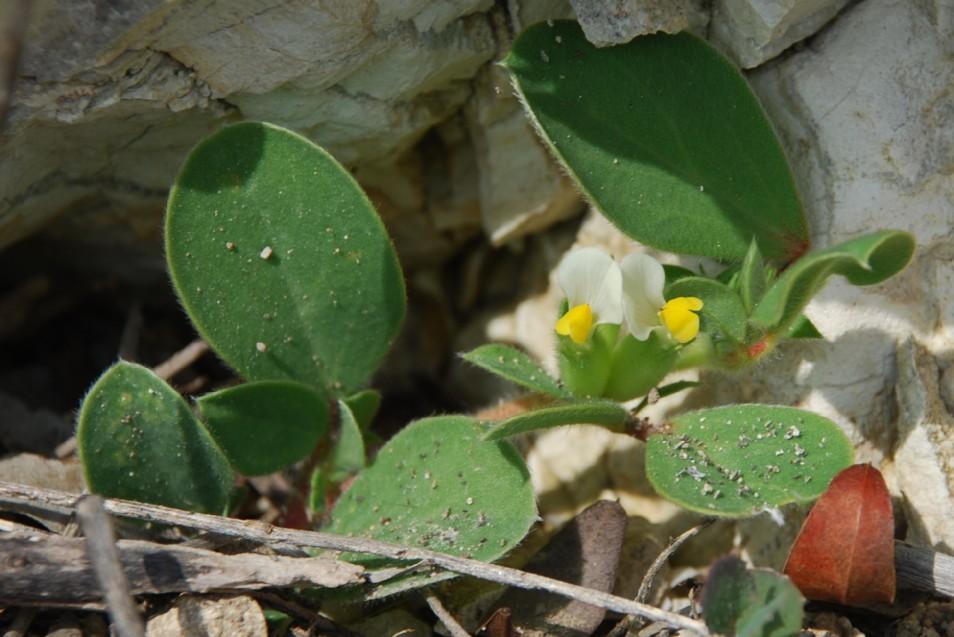 Tripodion tetraphyllum 9