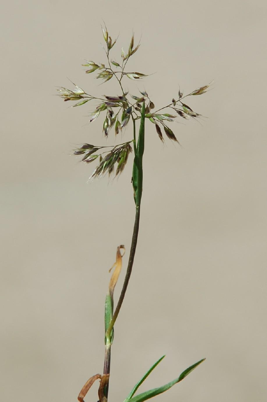Trisetaria aurea 3