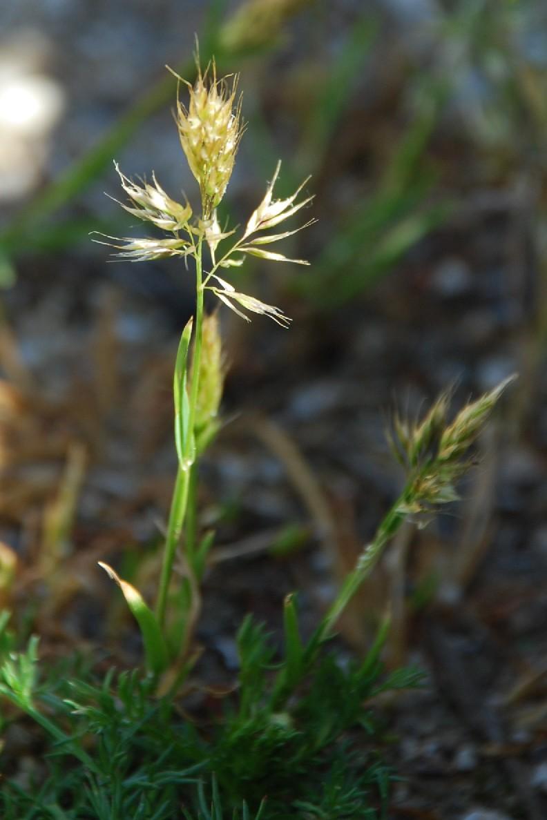 Trisetaria aurea 9
