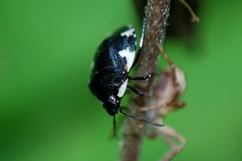 Tritomegas rotundipennis - Cydnidae