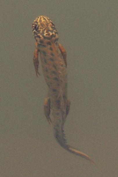 Triturus carnifex - Salamandridae - Tritone crestato