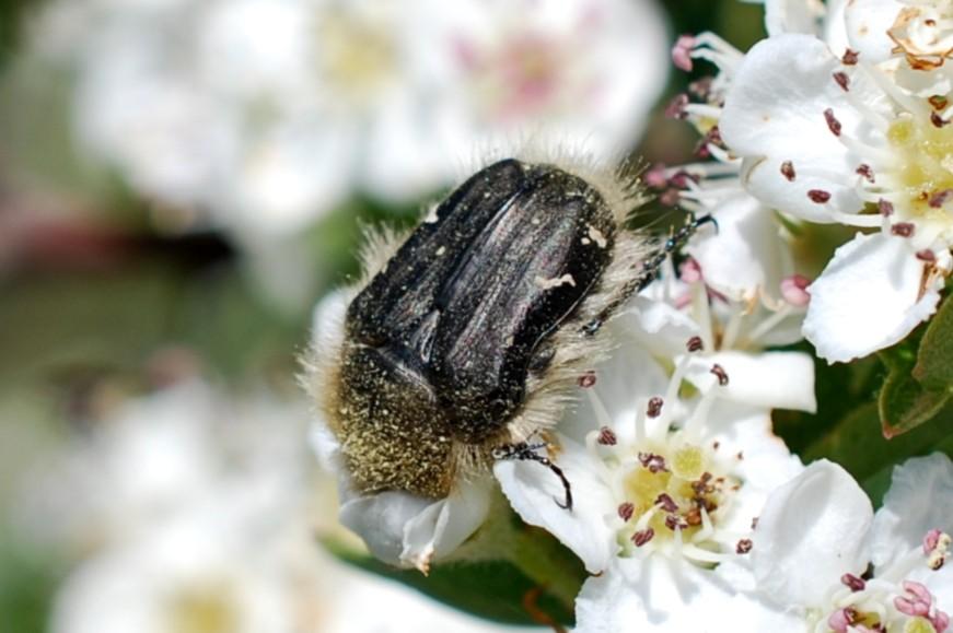 Tropinota sp. - Cetoniidae