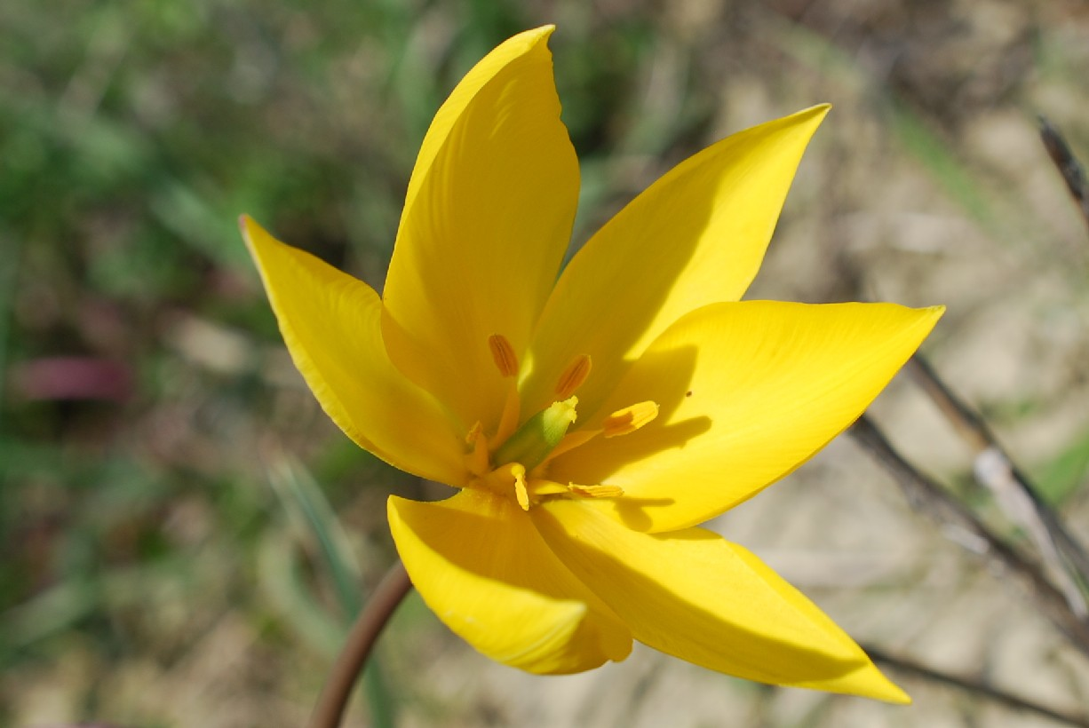 Tulipa sylvestris 15