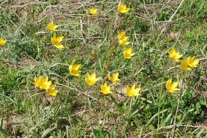 Tulipa sylvestris 24