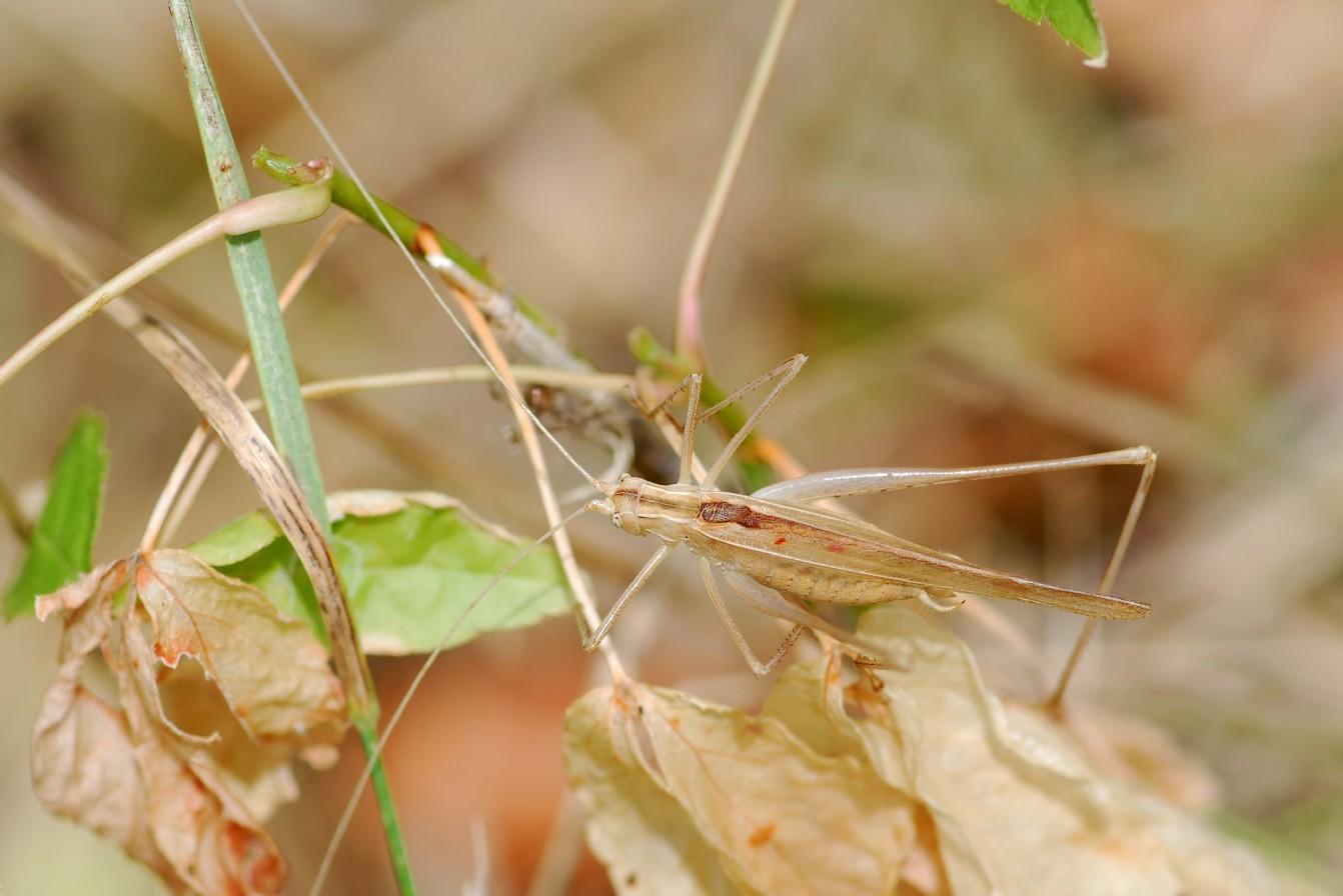 Tylopsis lilifolia - Phaneropteridae