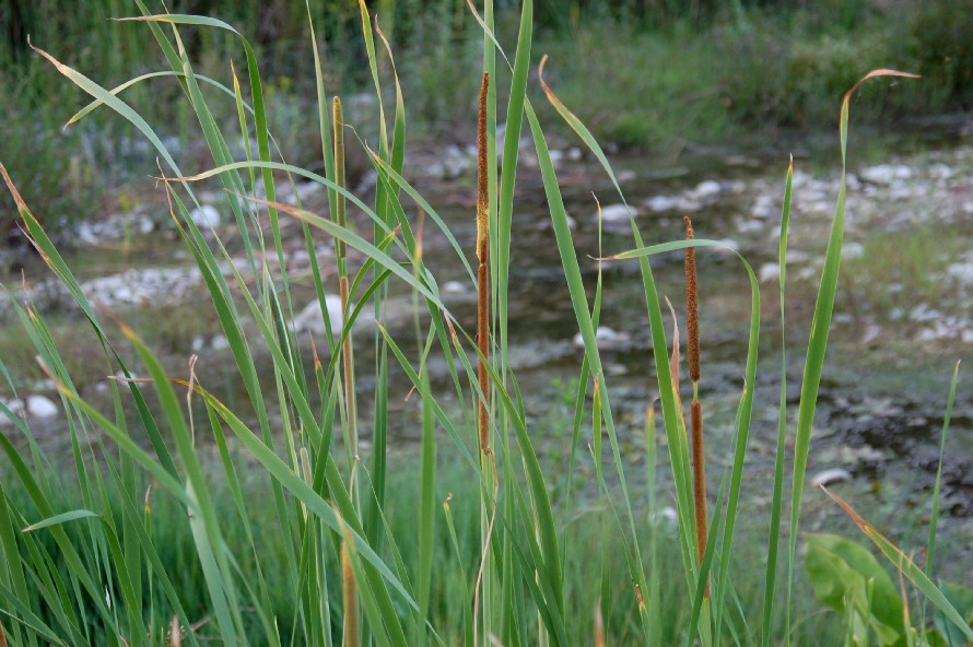 Typha angustifolia subsp. angustifolia 4