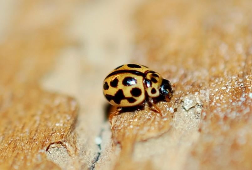 Tytthaspis sedecimpunctata - Coccinellidae