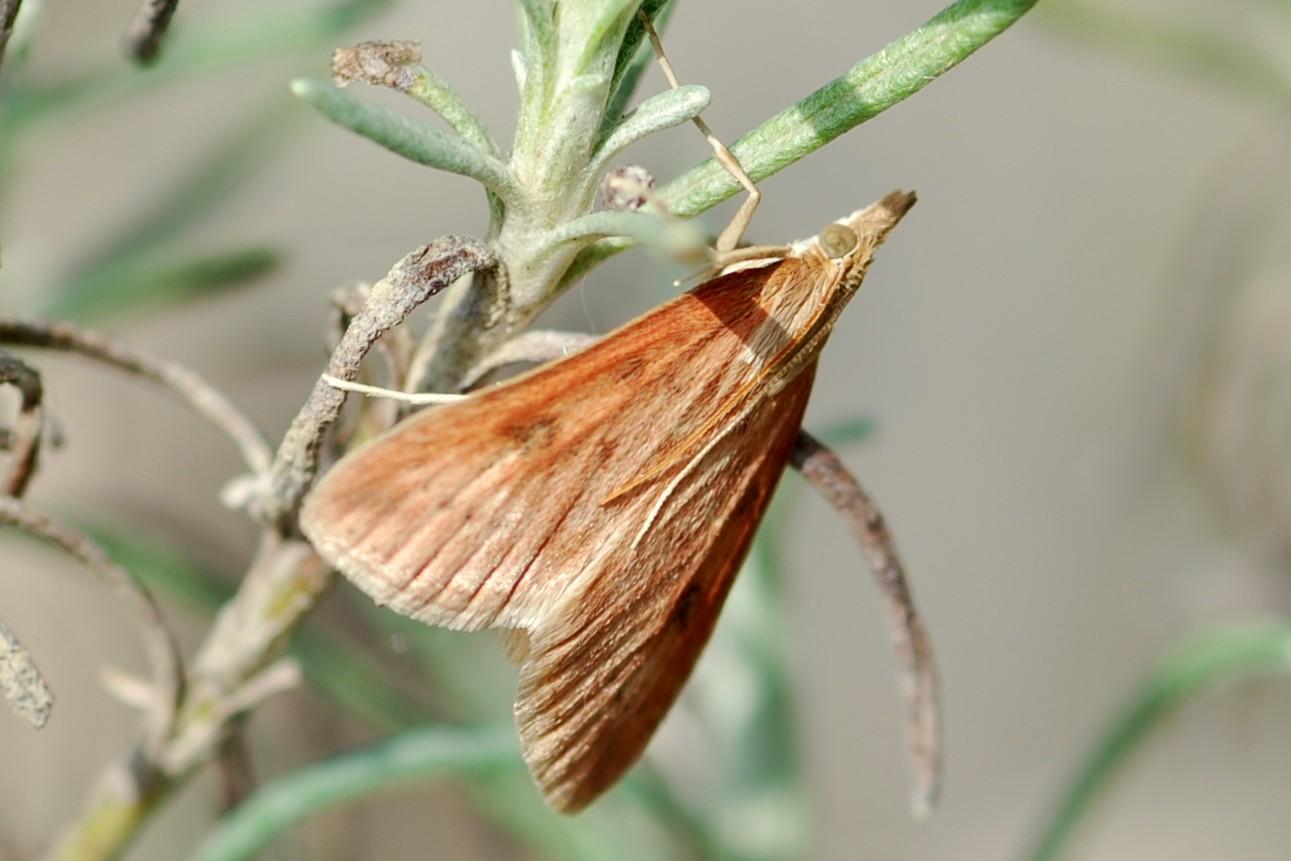 Udea ferrugalis - Crambidae