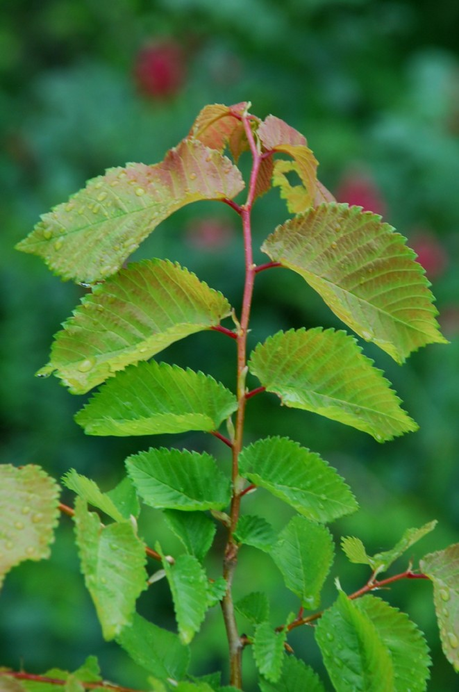 Ulmus minor subsp. minor 11