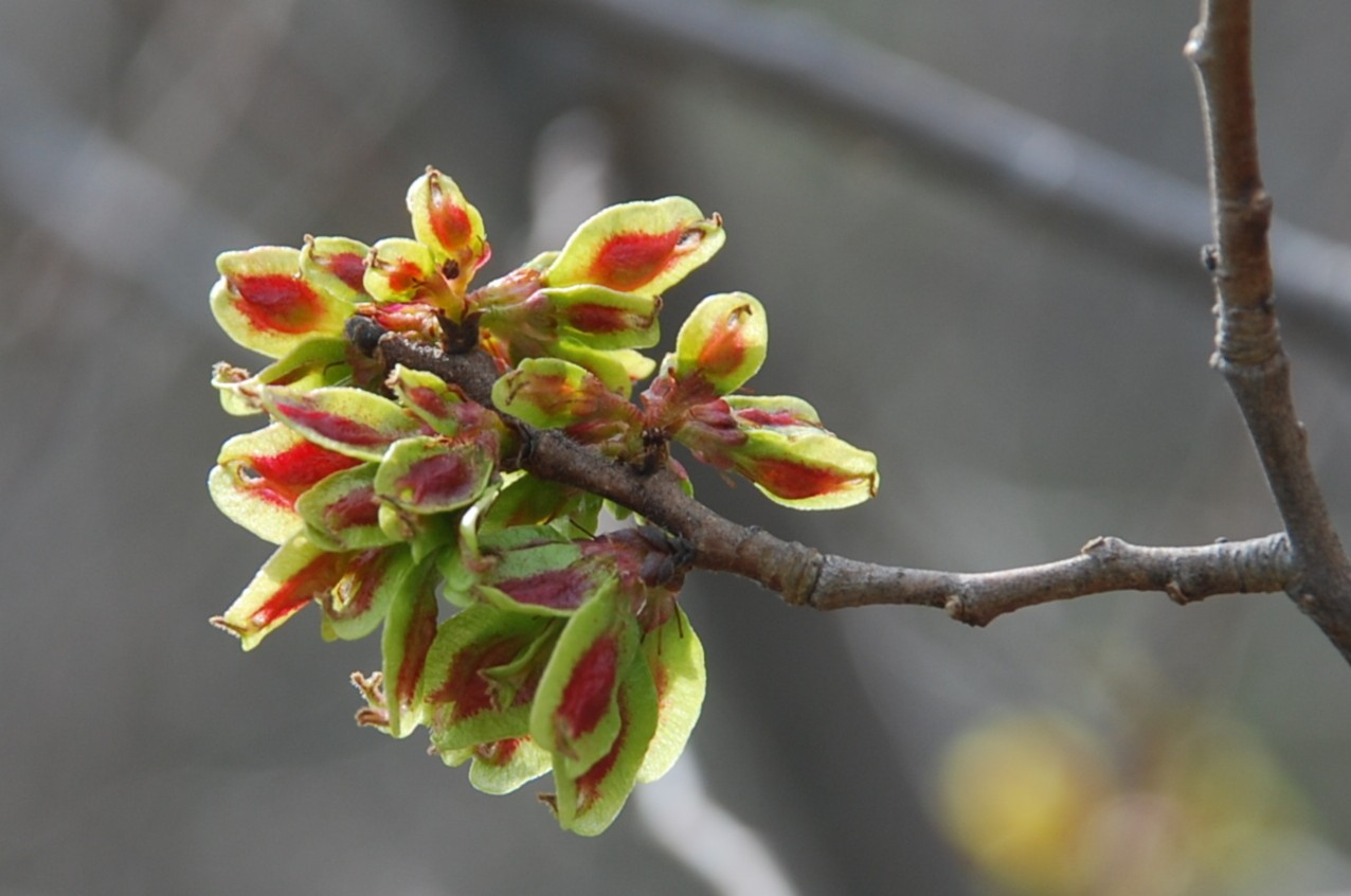Ulmus minor subsp. minor