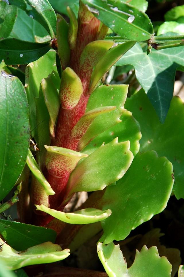 Umbilicus horizontalis 5