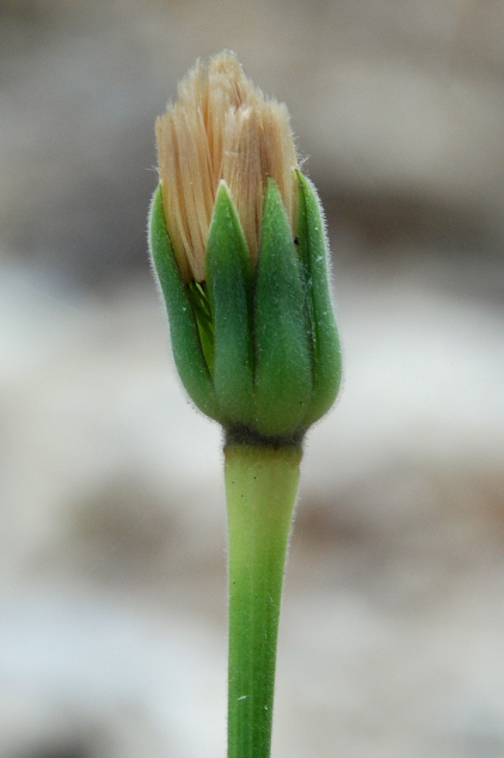 Urospermum dalechampii 4