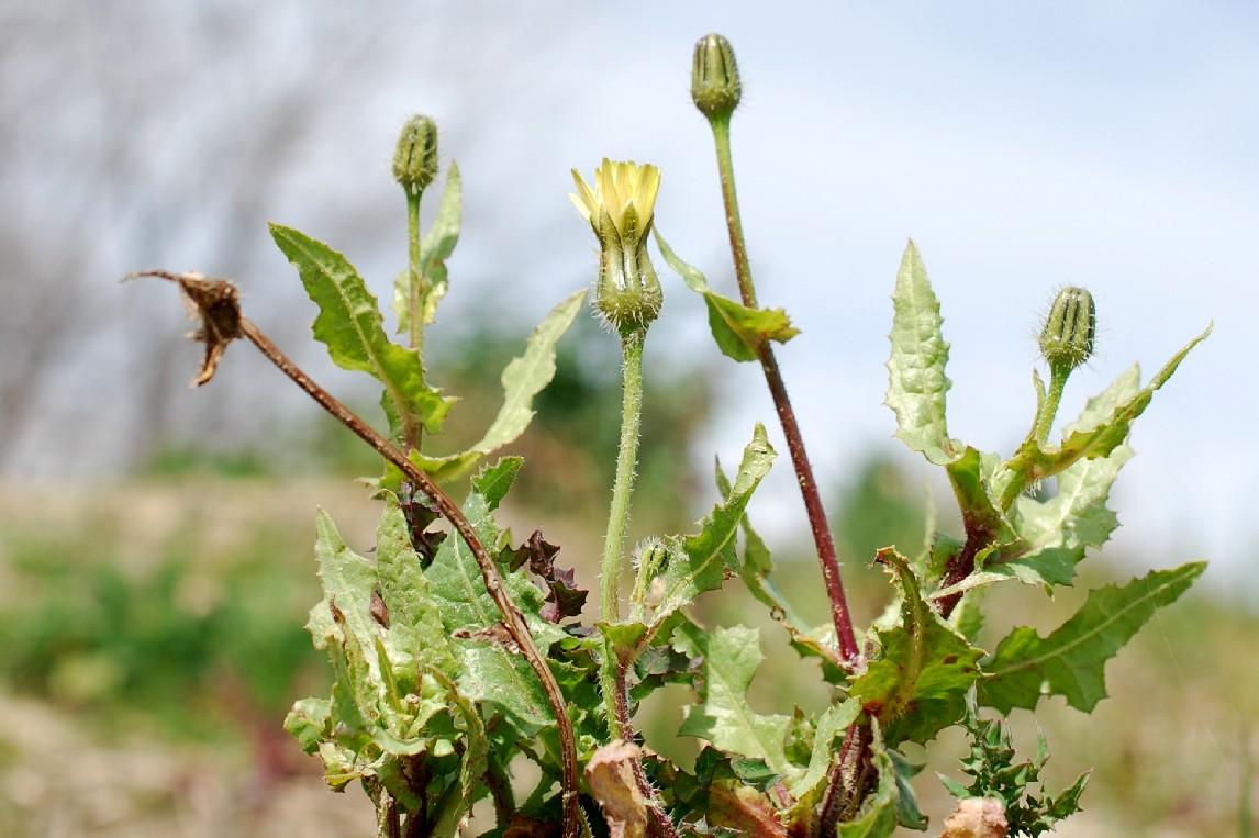 Urospermum picroides 20