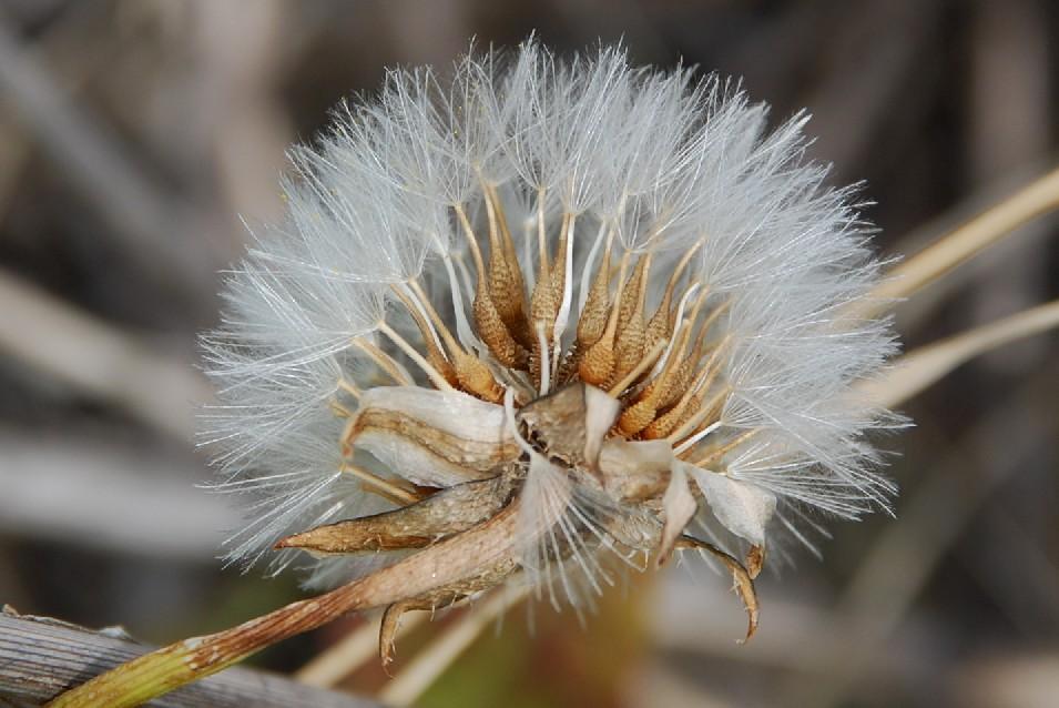 Urospermum picroides 6