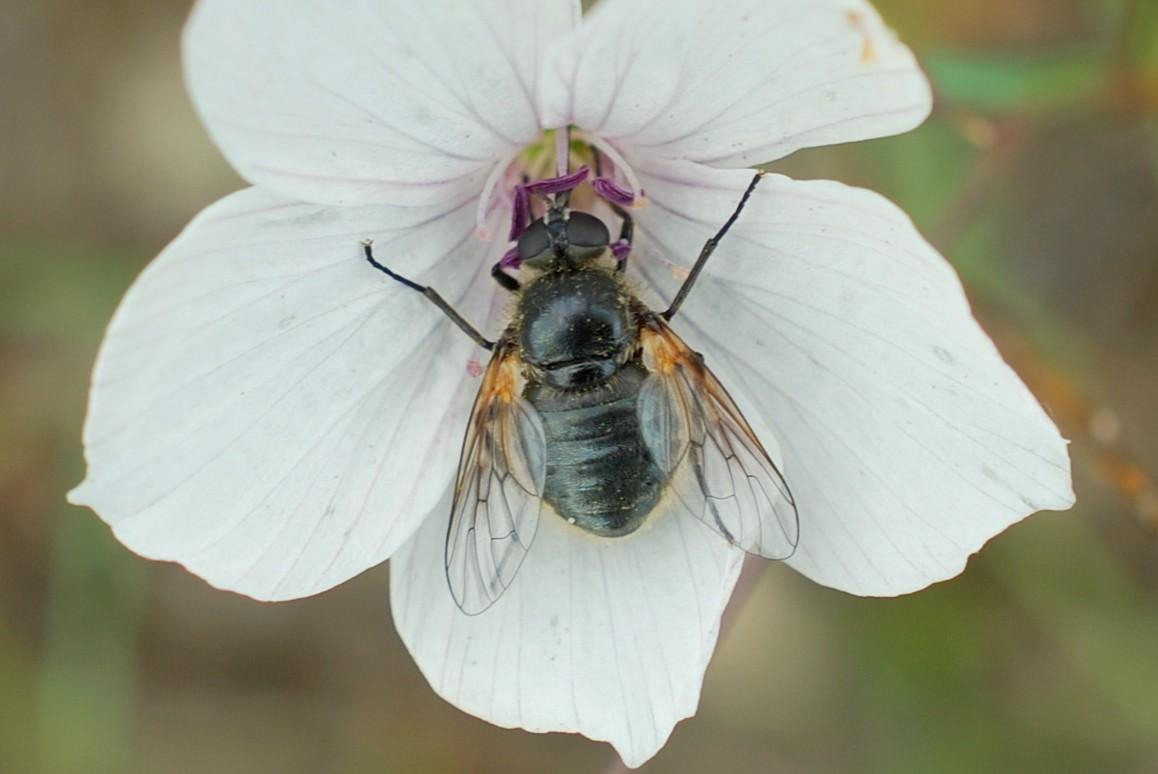 Usia sp. - Bombyliidae