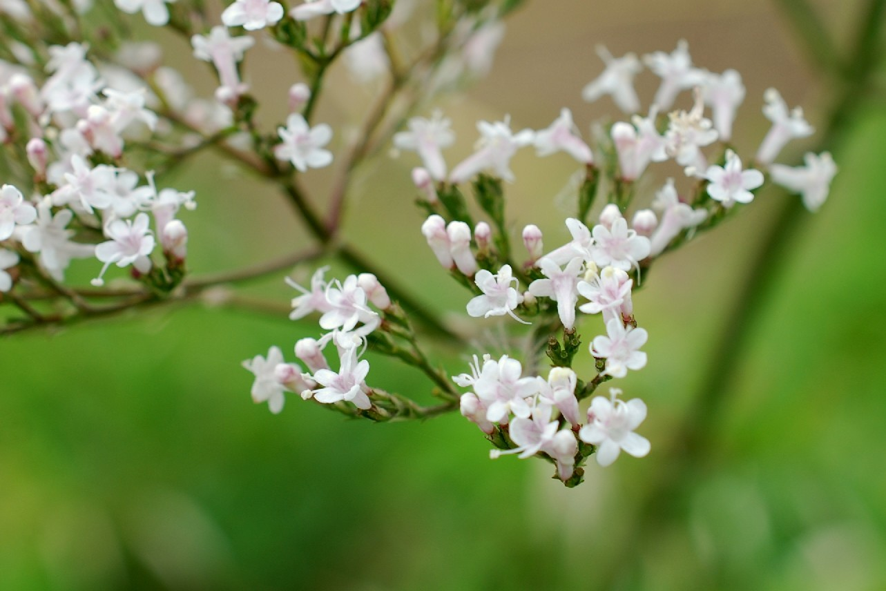 Valeriana officinalis 11