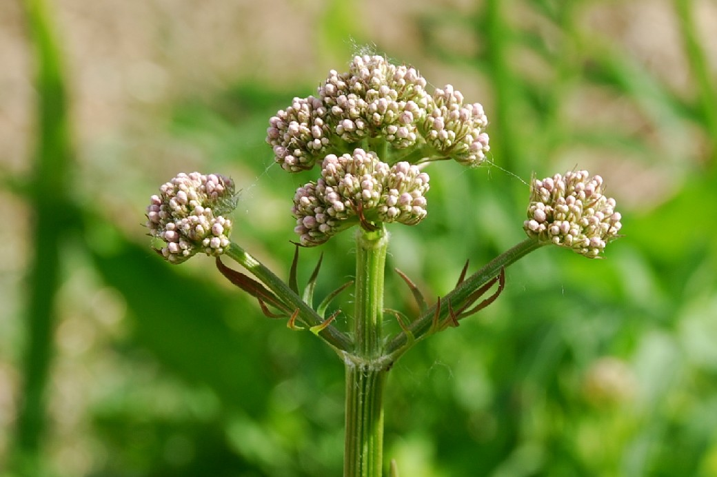 Valeriana officinalis 3