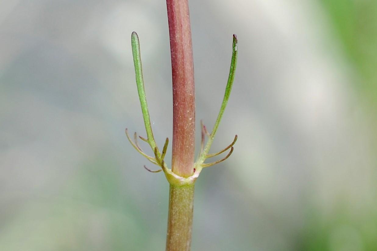 Valeriana tuberosa 10
