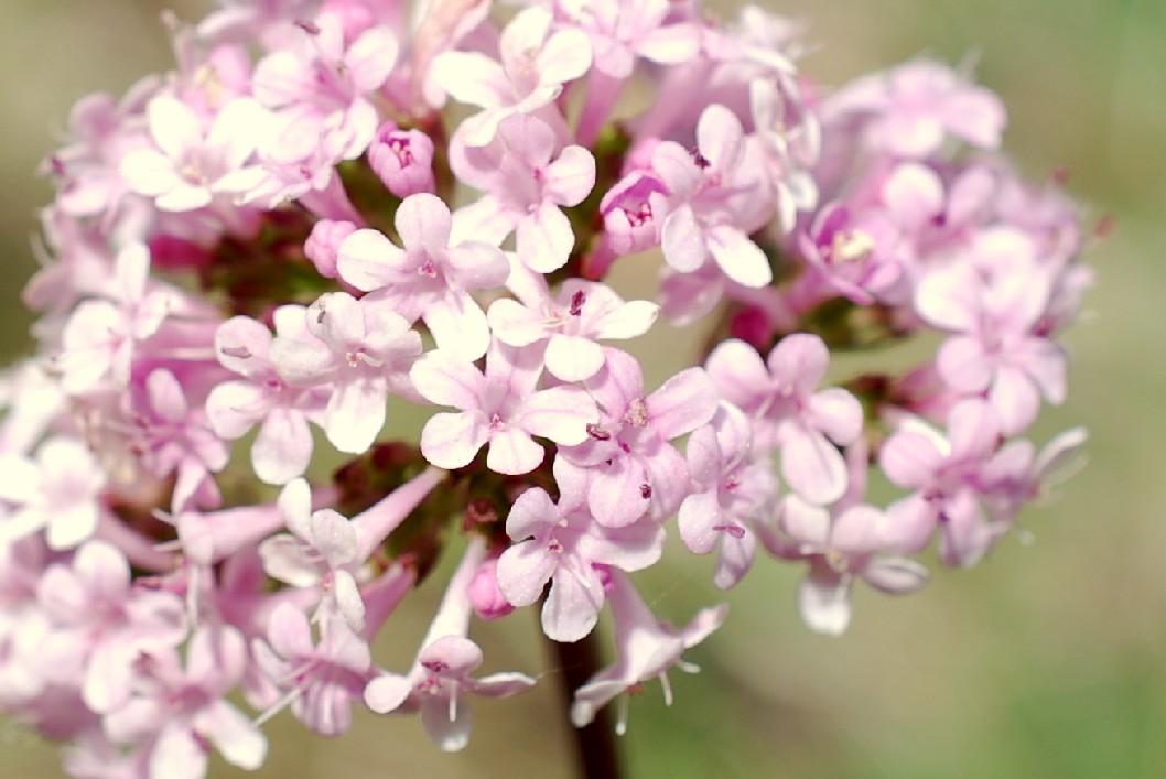 Valeriana tuberosa 4