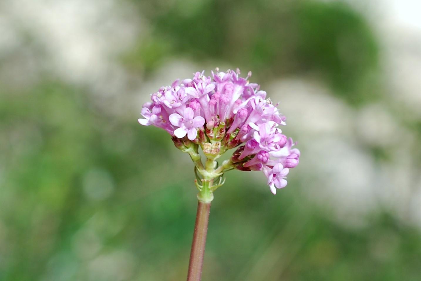 Valeriana tuberosa 5