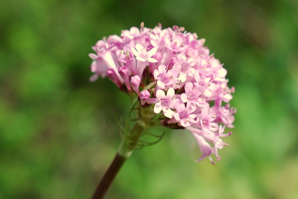 Valeriana tuberosa 6