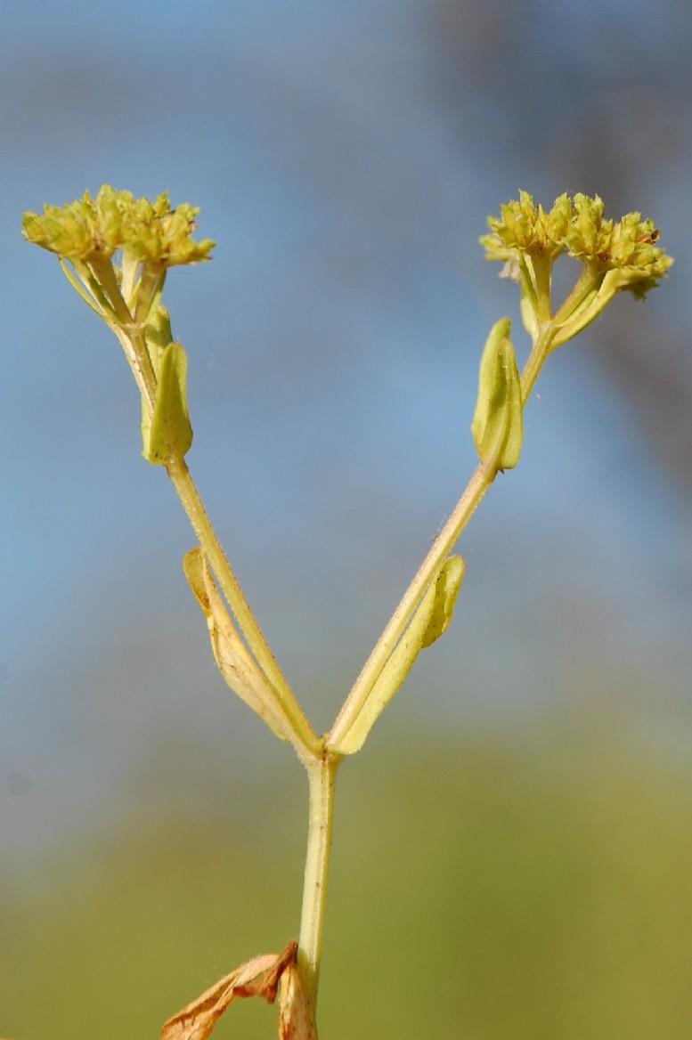 Valerianella eriocarpa 11