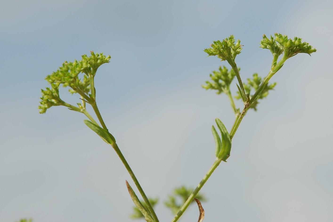 Valerianella eriocarpa 12