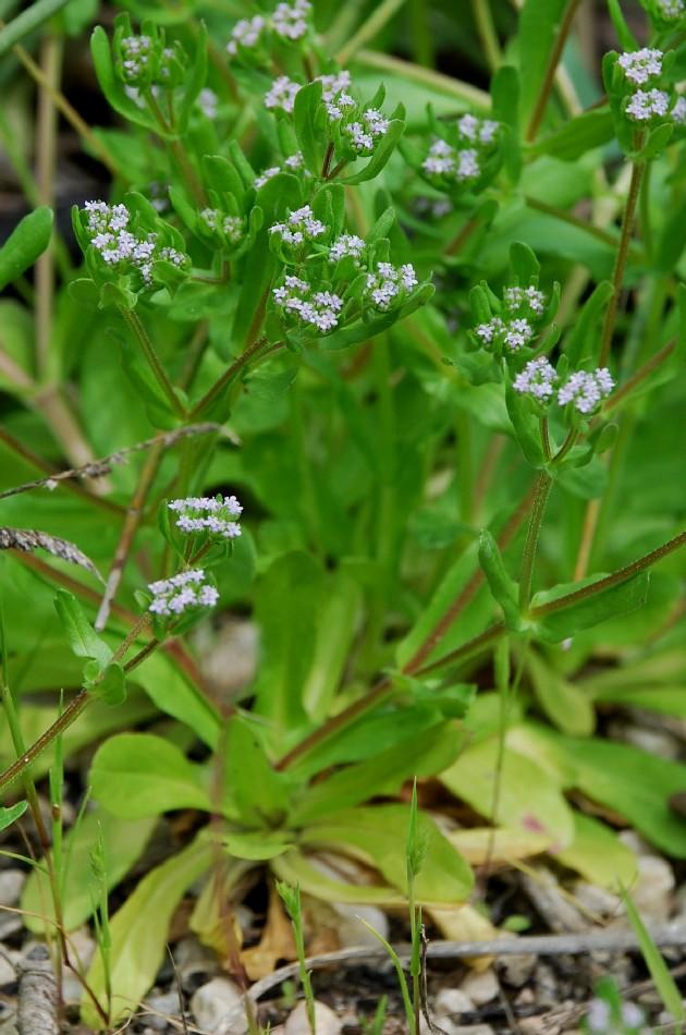 Valerianella eriocarpa 7