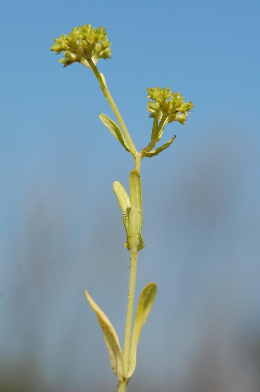 Valerianella eriocarpa 8