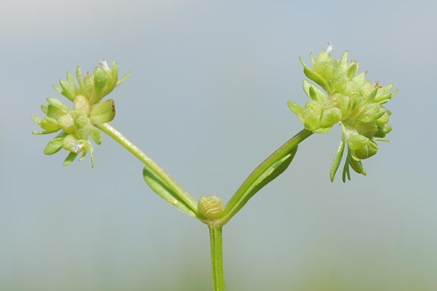 Valerianella locusta 5