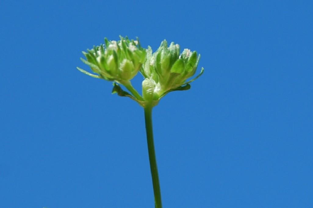 Valerianella locusta 8