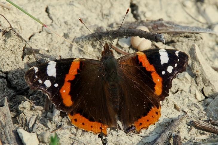 Vanessa atalanta - Nymphalidae