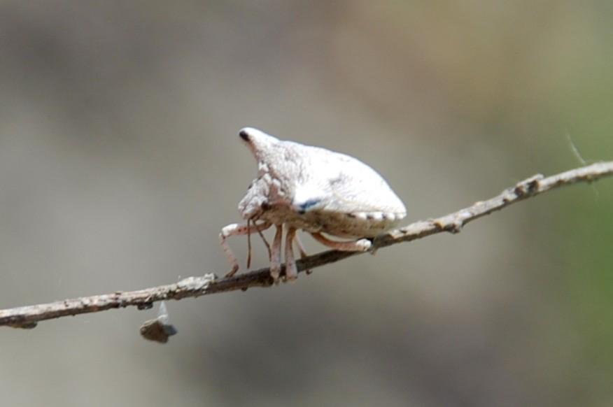 Ventocoris falcatus - Pentatomidae