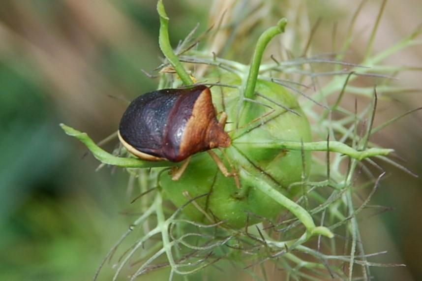 Ventocoris rusticus -  Pentatomidae