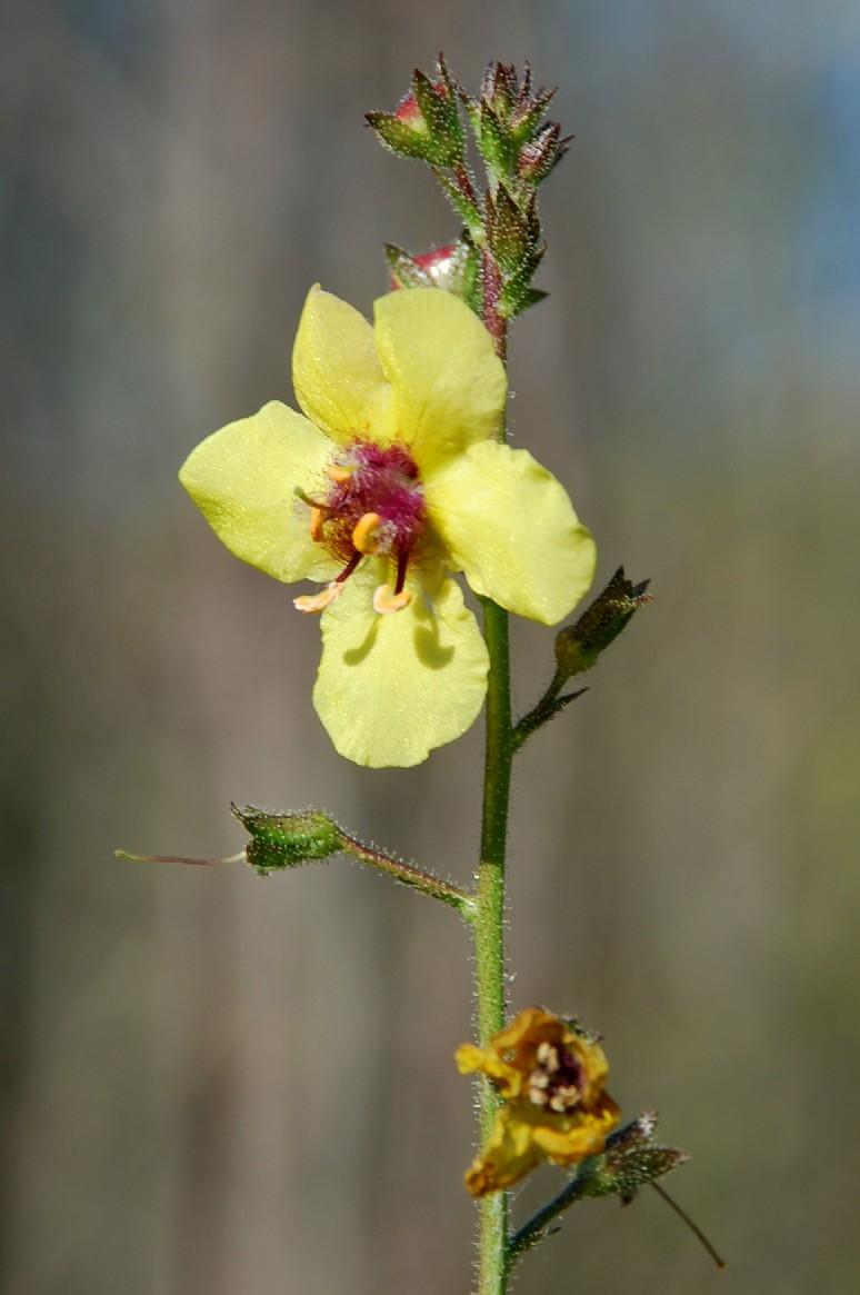 Verbascum blattaria 13