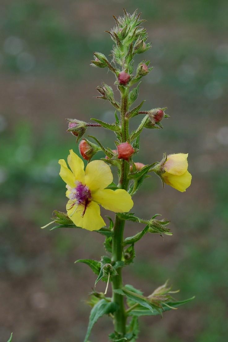 Verbascum blattaria 14