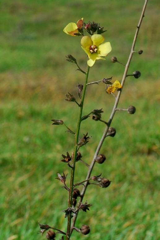 Verbascum blattaria 4
