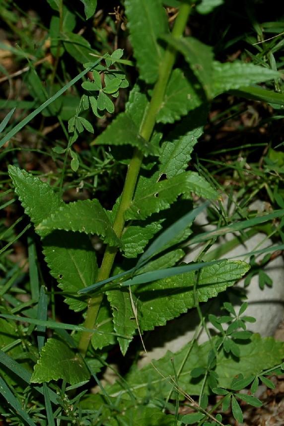 Verbascum blattaria 6