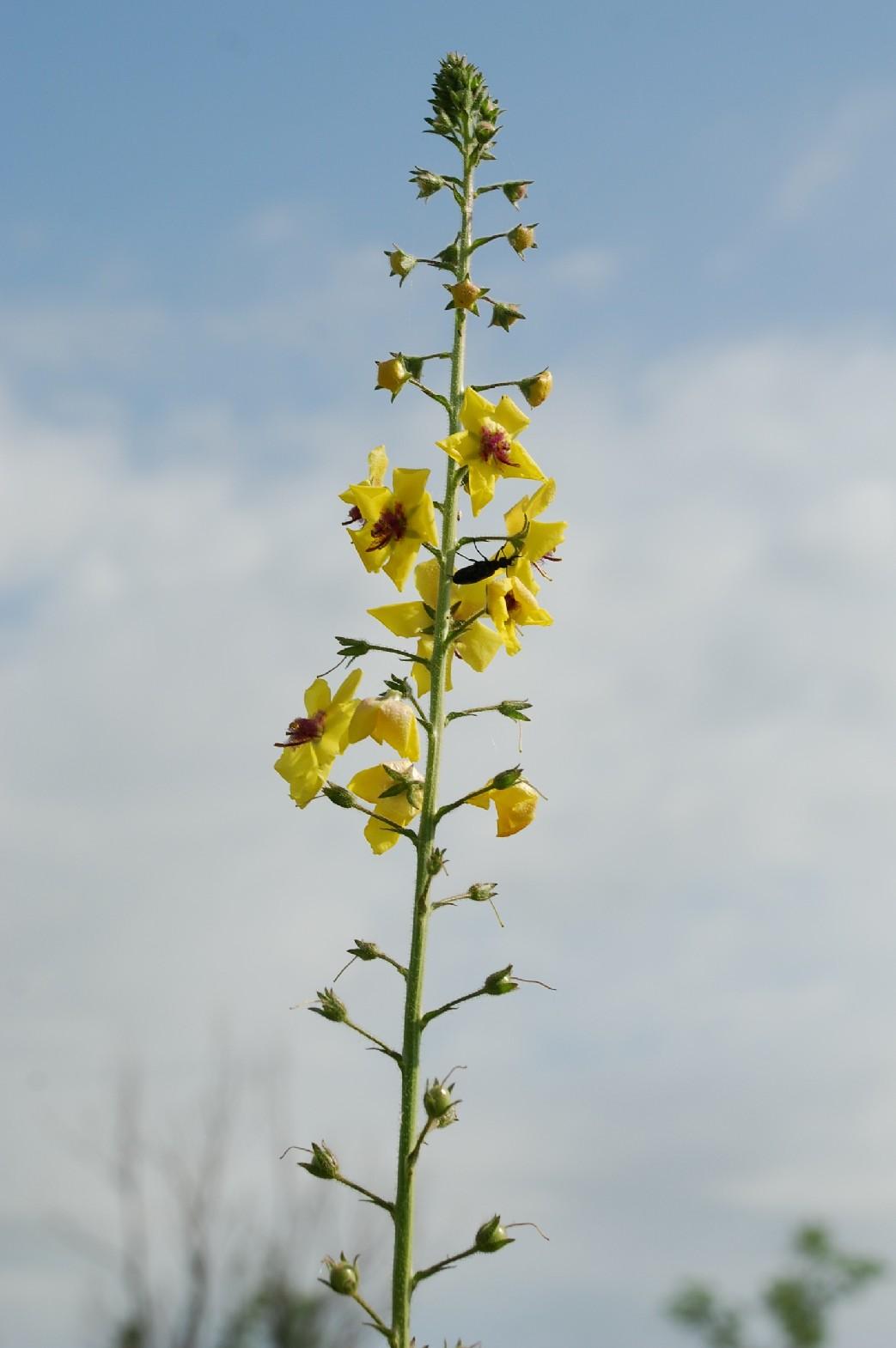 Verbascum blattaria 8
