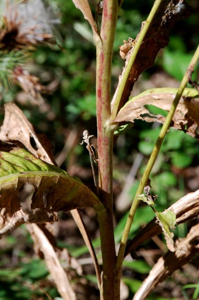 Verbascum lychnitis 13