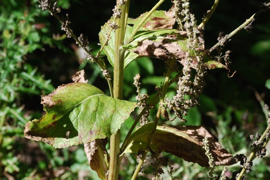 Verbascum lychnitis 14